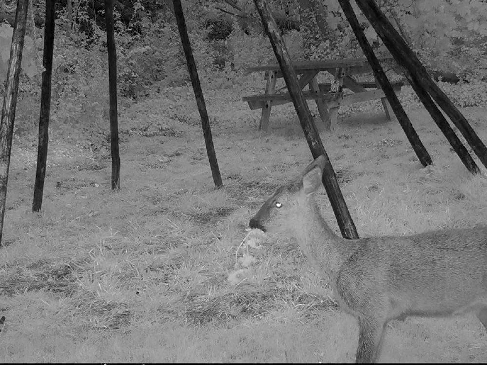 Deer at PK Porthcurno